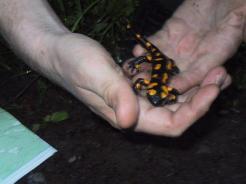 Salamandra-1